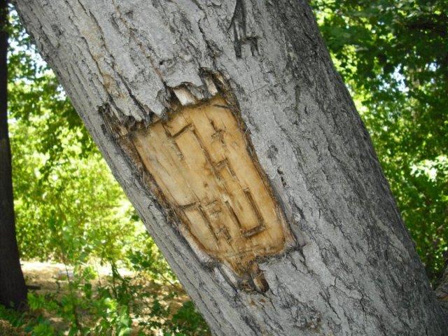 խեղված ծառ